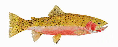 Study Of A Westslope Cutthroat Trout Art Print