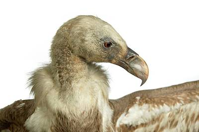 Natural History Museum Wall Art - Photograph - Stuffed Eurasian Griffon Vulture by Natural History Museum, London/science Photo Library