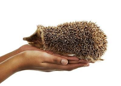 Stuffed Hedgehog Art Print