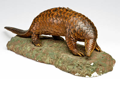 Anteater Photograph - Stuffed Pangolin by Ucl, Grant Museum Of Zoology