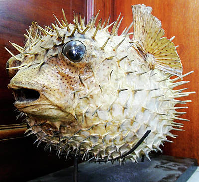 Porcupine Fish Photograph - Stuffed Porcupinefish by Ucl, Grant Museum Of Zoology