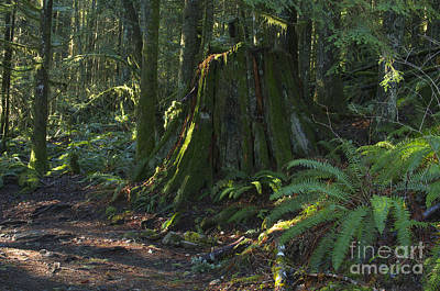 Photograph - Stump And Fern by Sharon Talson
