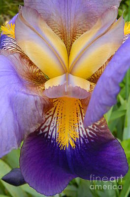Photograph - Stunning Show Iris by Chalet Roome-Rigdon