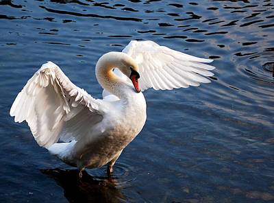 Photograph - Stunning Swan by Staci Bigelow