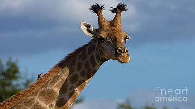 Photograph - Stylish Giraffe by Mareko Marciniak