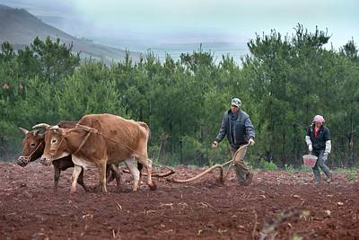 Rural Landscapes Photograph - Subsistence Farmers Ploughing A Field by Tony Camacho