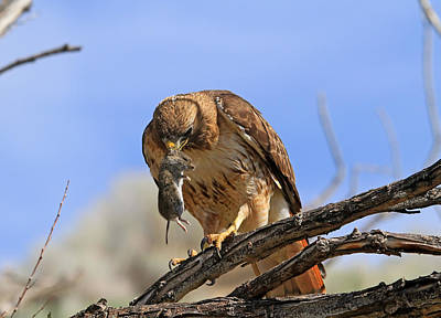Redtail Hawk Photograph - Successful Hunt by Donna Kennedy