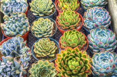 Photograph - Succulent Garden Plants by David Zanzinger