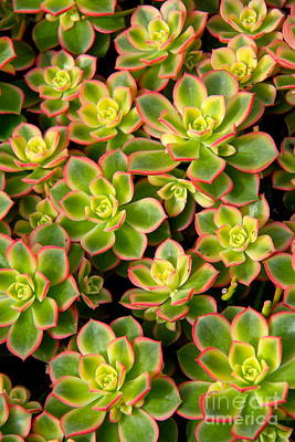 Photograph - Succulent Glow by Suzanne Oesterling