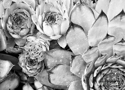 Photograph - Succulent In Black And White by Ioanna Papanikolaou