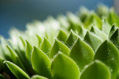 Photograph - Succulent by Lisa Knechtel