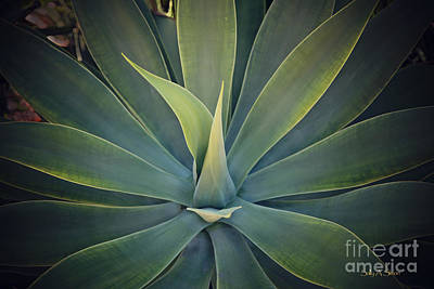 Photograph - Succulent by Sally Simon