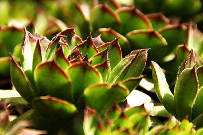 Photograph - Succulent by Selke Boris
