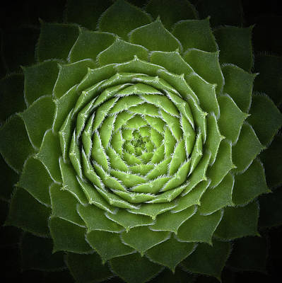 Green Photograph - Succulent by Victor Mozqueda