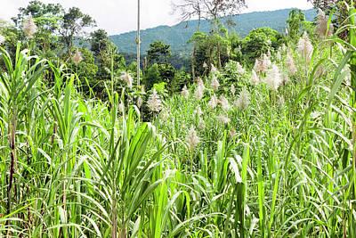 Sugar Cane Photograph - Sugar Cane Field by Dr Morley Read