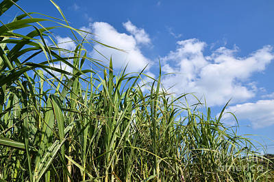 Photograph - Sugar Cane Field by Kennerth and Birgitta Kullman