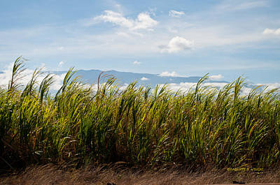 Photograph - Sugar Cane Field - Maui by Paulette B Wright