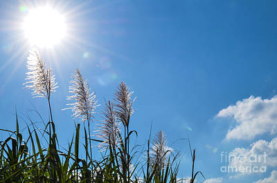 Photograph - Sugar Cane Sunshine by Kennerth and Birgitta Kullman