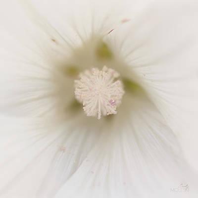 Lavatera Flowers Photograph - Sugar by Cindy Moleski