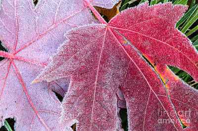 Photograph - Sugar Coated Maple Leaves by Tamara Becker