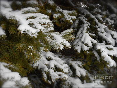 Photograph - Sugar Frosted Spruce by Photography by Tiwago