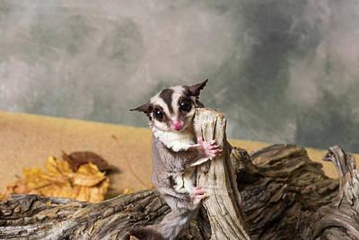Possum Photograph - Sugar Glider Petaurus Breviceps by Panoramic Images