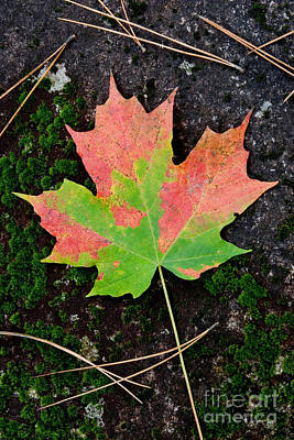 Photograph - Sugar Maple Leaf by Gregory G Dimijian MD