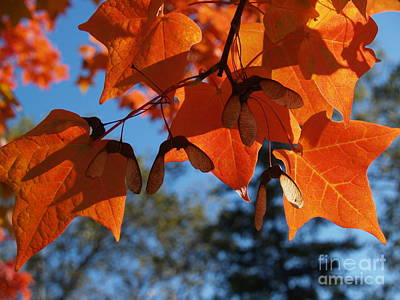 Photograph - Sugar Maple Leaves From Below by Anna Lisa Yoder
