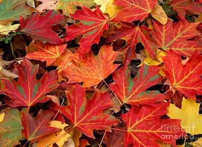 Photograph - Sugar Maple Leaves by Michael P Gadomski