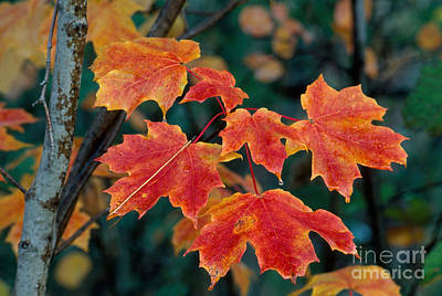Photograph - Sugar Maple Leaves by Stephen J Krasemann