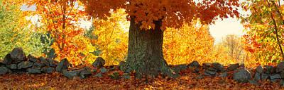 Sugar Maple Tree In Autumn, Peacham Art Print