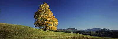 Sugar Maple Tree On A Hill, Peacham Art Print by Panoramic Images
