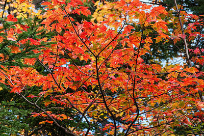 Photograph - Sugar Maple Turning Orange by Karen Stephenson