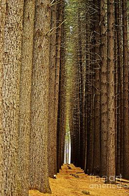 Sugar Pine Walk Original by Blair Stuart