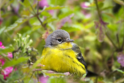 Magnolia Warbler Photograph - Sugar Spice And Everything Nice by Christina Rollo