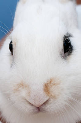 sugar the easter bunny 1 -A curious and cute white rabbit close up Art Print by Pedro Cardona