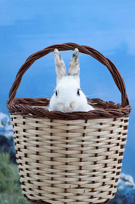 Photograph - sugar the easter bunny 2 - A curious and cute white rabbit in a hand basket  by Pedro Cardona Llambias