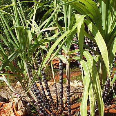 Photograph - Sugarcane Plants by Duane McCullough