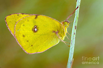 Colias Philodice Photograph - Sulfur Butterfly by Larry West