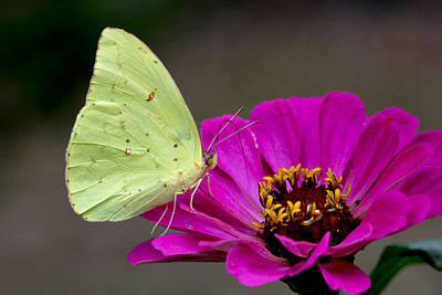 Photograph - Sulfur Butterfly On Zinna by Robert Camp