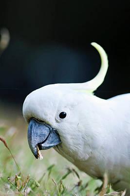 Pretty Cockatoo Photograph - Sulfur-crested Cockatoo (cacatua by Martin Zwick