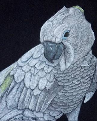 Drawing - Sulpher-crested Cockatoo by Anita Putman