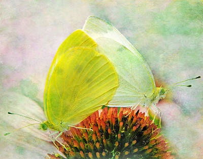 Photograph - Sulphur Butterflies by David and Carol Kelly