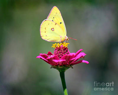 Colias Philodice Photograph - Sulphur Butterfly On Pink Zinnia by Karen Adams