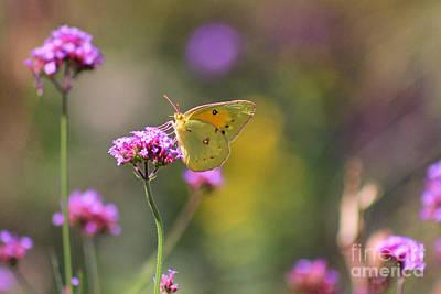 Photograph - Sulphur Butterfly On Verbena Flower by Karen Adams