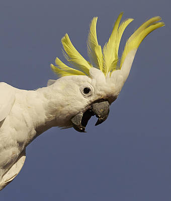 Cockatoo Photograph - Sulphur-crested Cockatoo Displaying by Martin Willis