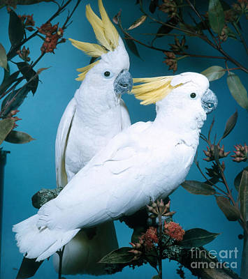 Cockatoo Photograph - Sulphur-crested Cockatoo by Hans Reinhard