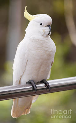 Pretty Cockatoo Photograph - Sulphur Crested Cockatoo by Tim Hester