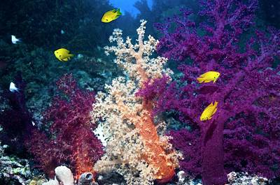 Sulphur Damsels On A Reef Art Print by Georgette Douwma