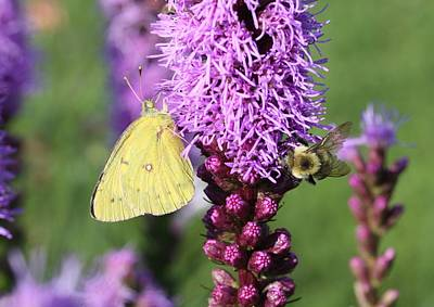 Photograph - Sulphur On Liatris by Lucinda VanVleck